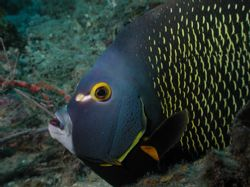 French angel fish by Martin Van Gestel 